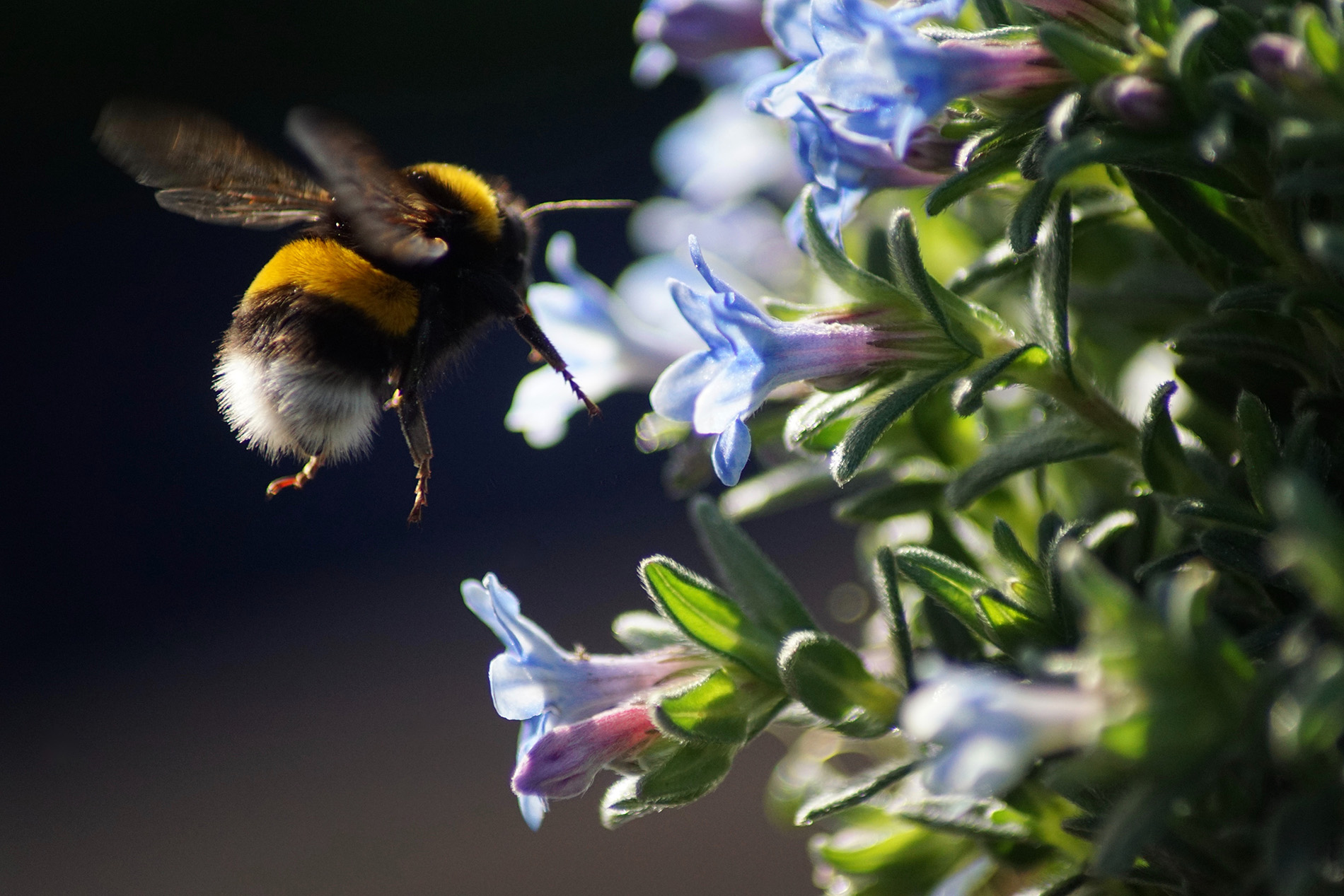 Humlans och blommornas former välkomnar möjligheterna till utbyte och interaktion med omgivningen. Foto: Carolien van Oijen/Unsplash